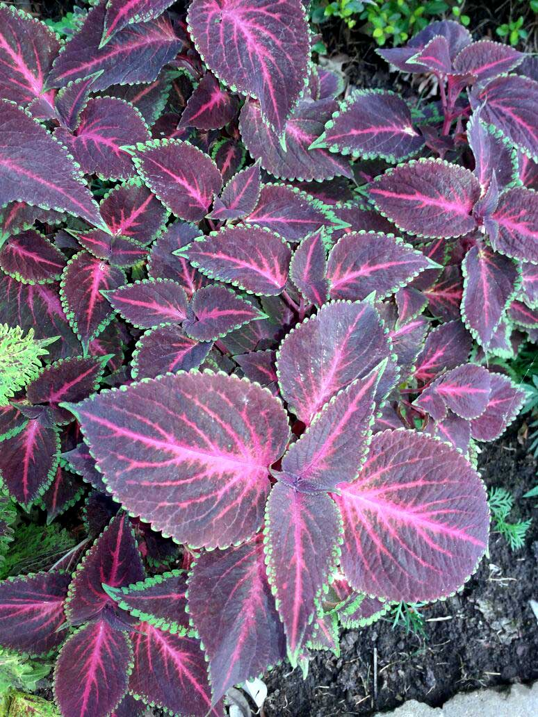 Health benefits of Coleus Plants | Coleus Herb's benefits