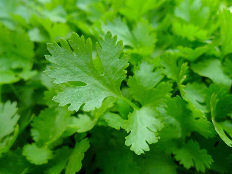 7 Amazing benefits of Parsley by Garden infograph