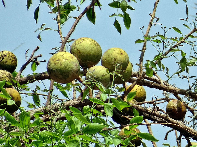 Health Benefits of Bael Fruit