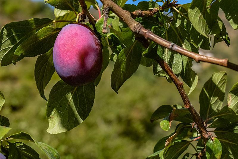 damson fruit-fruit-damson plum-gardeninfograph
