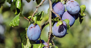 Damson Plum | Health benefits of Damson Plum | Damson fruit