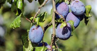 Damson Plum   Health benefits of Damson Plum   Damson fruit