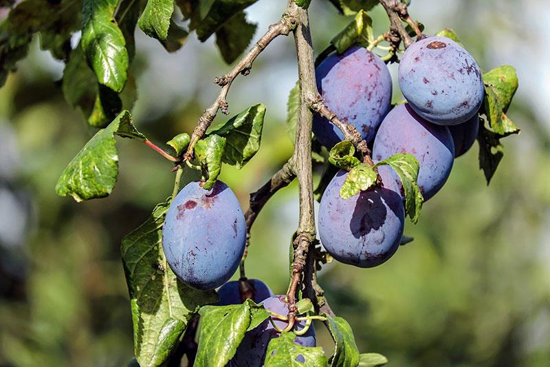 Damson Plum | Health benefits of Damson Plum | Damson fruit