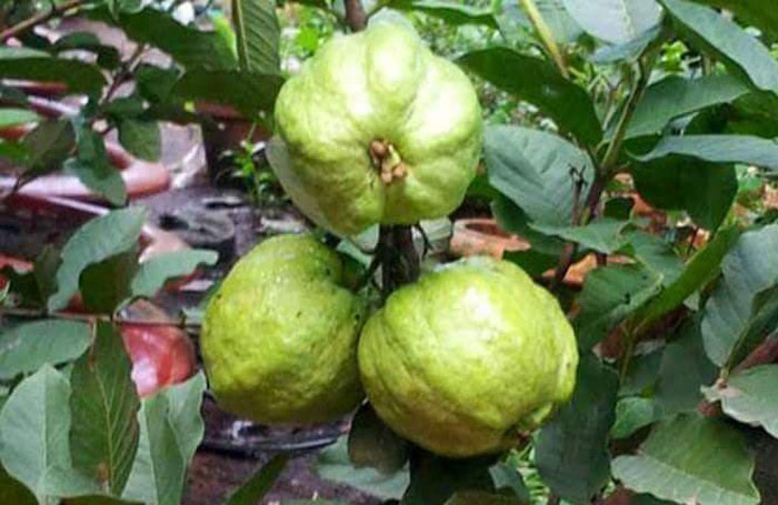 Health Benefits of Guava fruit | Guava Nutrition Facts | Side effects