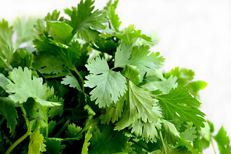 Coriander | Health Benefit of Coriander or Cilantro