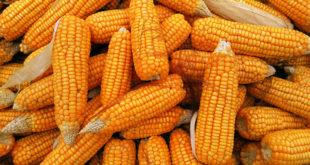 Health benefits of Corn (Maize) | Maize nutrients