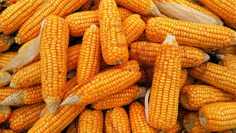 Health benefits of Corn (Maize) | Maize nutrients