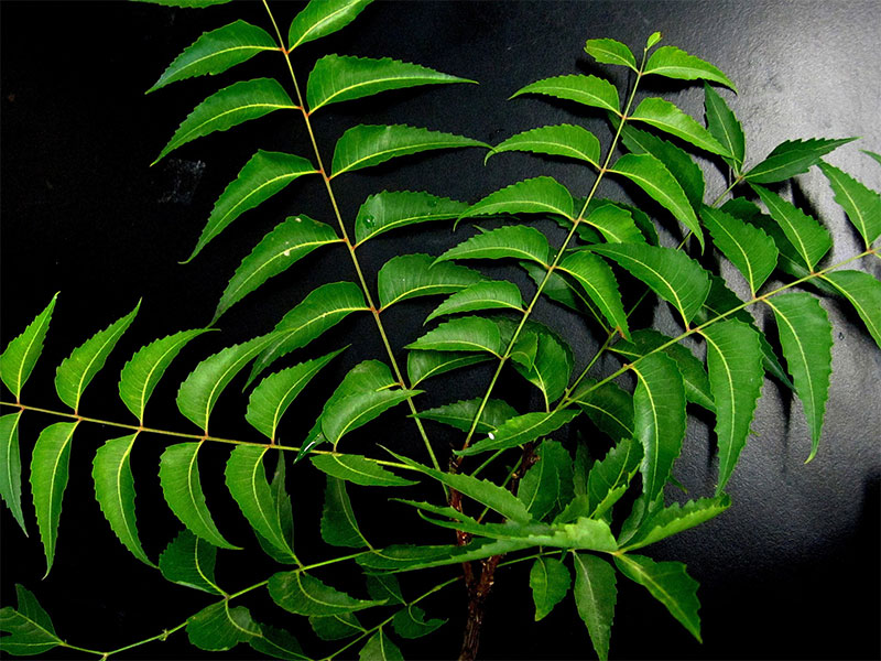 Health Benefits of Neem (Azadirachta indica) | Ayurveda