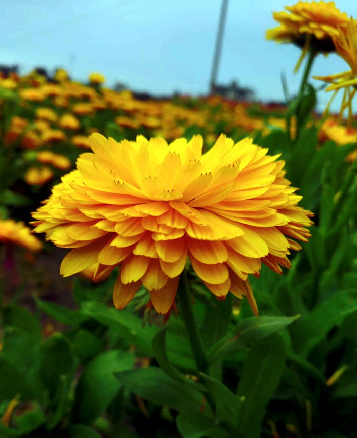 The Benefits of Calendula | Calndula nutrients and side effects