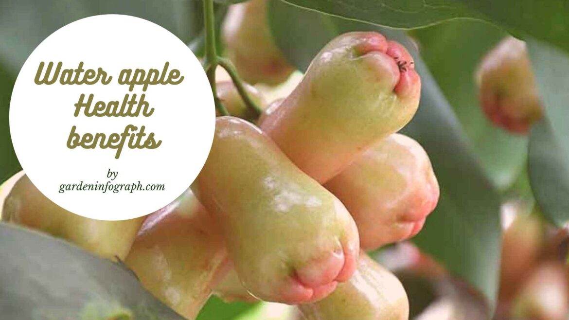 Water apple health benefits | Rose apple