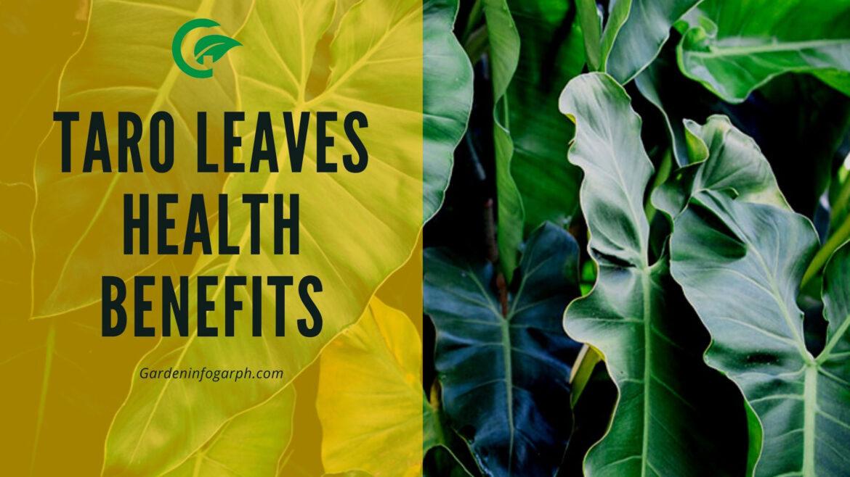 Taro leaves health benefits