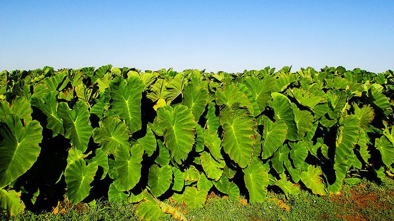 taro plant benefits